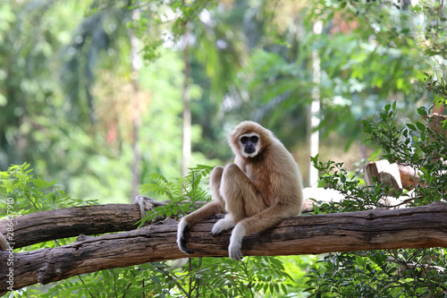 Canvas-taulu Gibbon on the tree in the zoo.