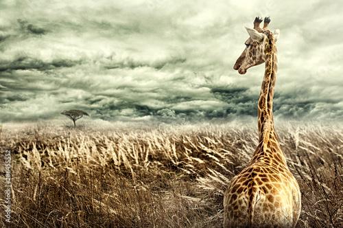 Plakat Nubijska żyrafa