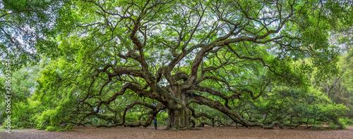Fototapeta premium Słynny Angel Oak, położony we własnym parku na obrzeżach Charleston w Południowej Karolinie. Drzewo ma co najmniej 400 lat (niektórzy twierdzą, że 1500). Pokazano, że osoba daje perspektywę.