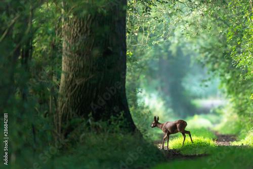 Fotografia Roe deer crosses a summer forest path.