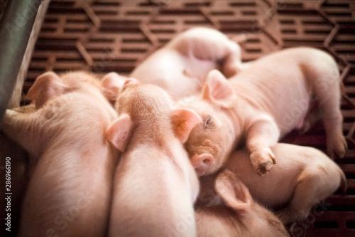 Photo piglets