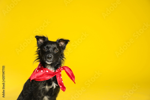 Photo Cute black dog with neckerchief on yellow background