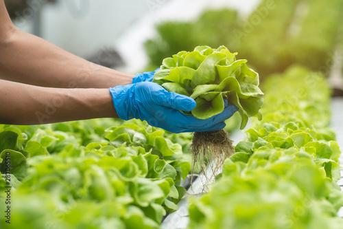 Carta da parati close up view hands of farmer picking lettuce in hydroponic greenhouse