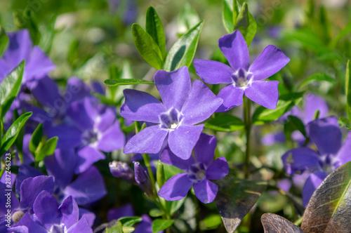Fotografia Vinca minor lesser periwinkle ornamental flowers in bloom, common periwinkle flo