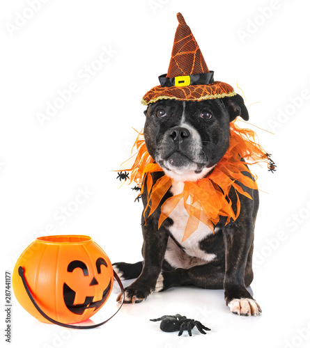 Leinwand Poster staffordshire bull terrier and halloween