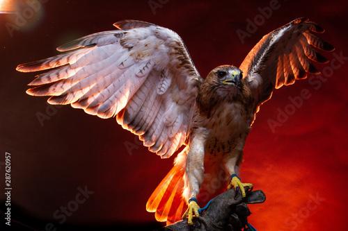 Valokuva Red Tailed Buzzard / Hawk - Birds of Prey