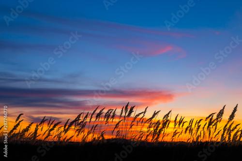 Fototapeta closeup prairie grass silhouette on the dramatic evening sky background
