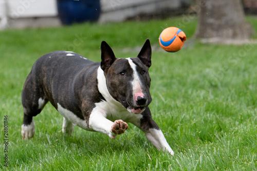 Canvastavla Bull Terrier chasing a ball