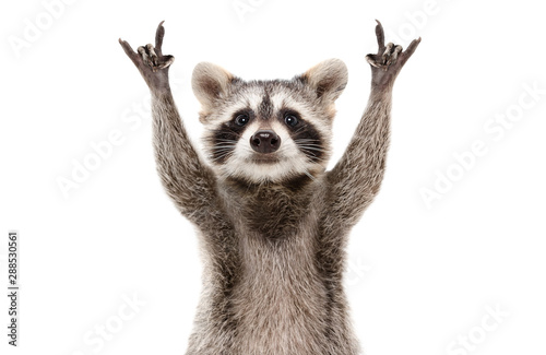 Fototapeta Funny cute raccoon showing a rock gesture isolated on white background