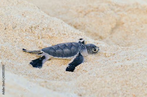 Fotografia, Obraz Baby Turtles hatching at Nosy Iranja, Madagascar