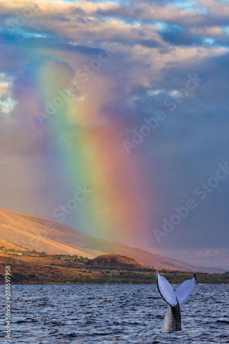 Canvas Print Humpback whale tail breaking the surface under a brilliant rainbow in Lahaina on
