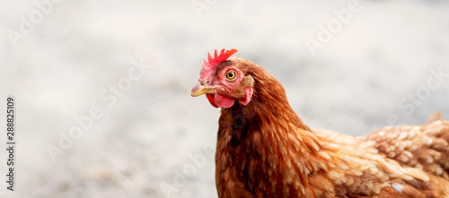 Fotografia Chickens on traditional free range poultry farm.