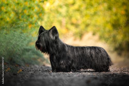 Fotografie, Obraz Sky Terrier black walking in a Sunny clearing in the woods.
