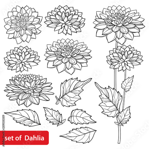 Wallpaper Mural Set with outline Dahlia or Dalia flower and ornate leaf in black isolated on white background