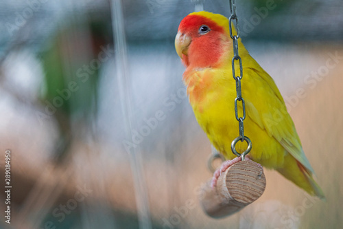 Tableau sur Toile yellow parrot with red cheeks sits in a cage on a swing