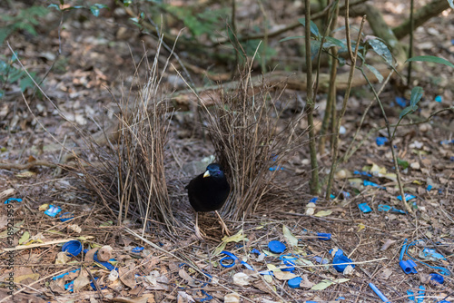 Fotografía A male satin bowerbird, ptilonorhynchus violaceus, tends his bower which he has decorated with blue coloured objects