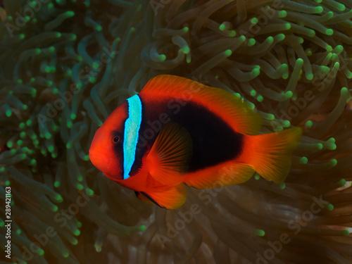 Vászonkép Tomato clownfish