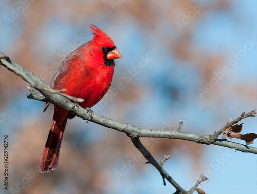 Foto Male Northern Cardinal in an Oak tree in winter