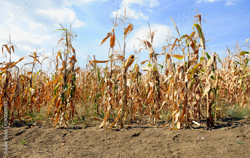 Slika na platnu Dried corn stalks and cracked earth in hot summer drought at corn field