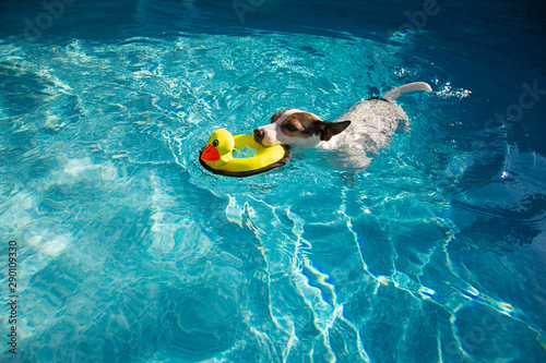 Fototapeta Jack Russell Terrier dog swimming in outdoor swimming pool with toy duck in mout