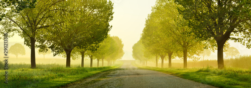 Fotografia Avenue of Linden Trees touched by the morning sun, Tree Lined Road through beaut
