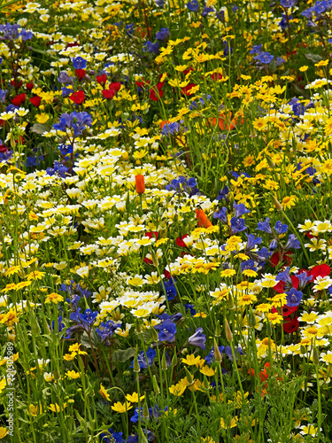 Colourful wildflower meadow giving a display of Californian flowers in a garden flower border