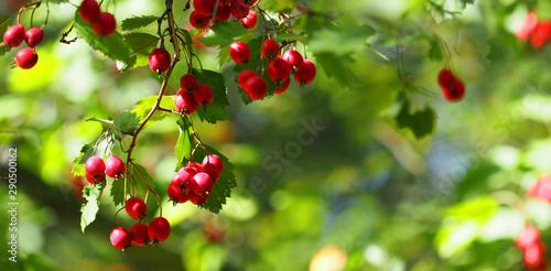 Fototapeta Ripe hawthorn or Crataegus monogyna in autumn, closeup