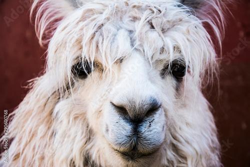 Photo Llama portrait, looking to the camera
