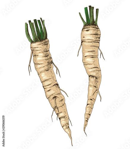 Fotografiet Hand drawn fresh horseradish