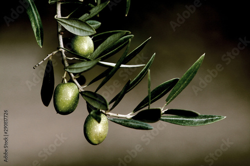 Green olives on branch with leaves, Jaen, Andalusia, Spain