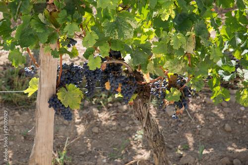 Tablou Canvas red grape vine in saint emilion France