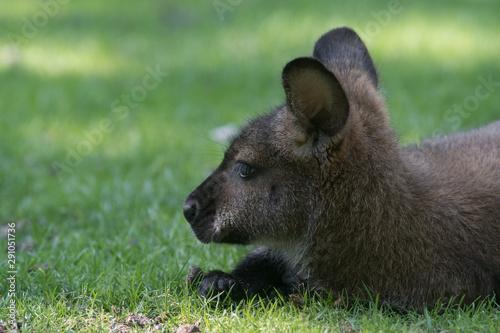 Obraz na plátne Wallaby de bennett sobre la hierba