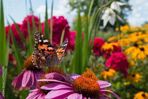 Obraz na plátně Garden flowers attract beautiful painted lady butterfly for pollination