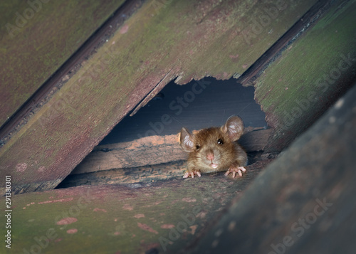 Fotografia The ship rat, roof rat, or house rat peeps through a hole in the ceiling