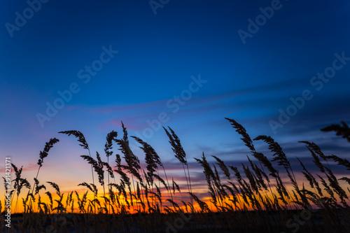 Carta da parati closeup prairie grass silhouette on the dramatic evening sky background
