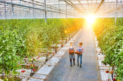 Canvastavla Young female farmers carrying tomatoes in crate with yellow lens flare in backgr
