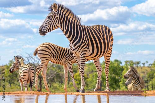 Obraz na płótnie A zebra (Equus quagga) drinking at a waterhole, Welgevonden Game Reserve, South