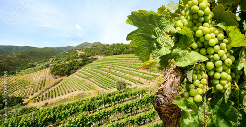 Canvas Print Grapevine with white wine in vineyard at a winery in Tuscany region near Florenc