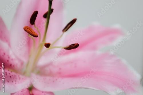 Tablou Canvas Closeup shot of a pink Lily Stargazer