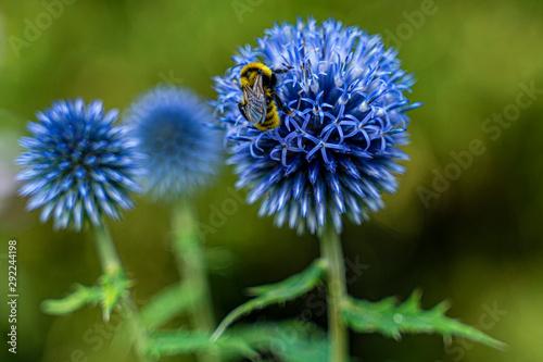 kwiat natura oset