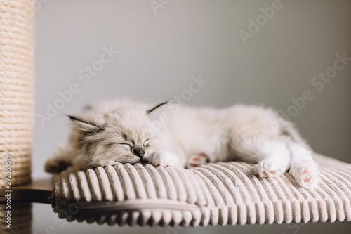 Photo Ragdoll cat, small kitten sleep at home.