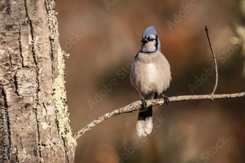 Photo Blue jay on branch