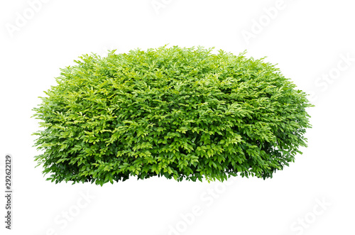 Bush isolated on white background,Objects with Clipping Paths Fototapeta