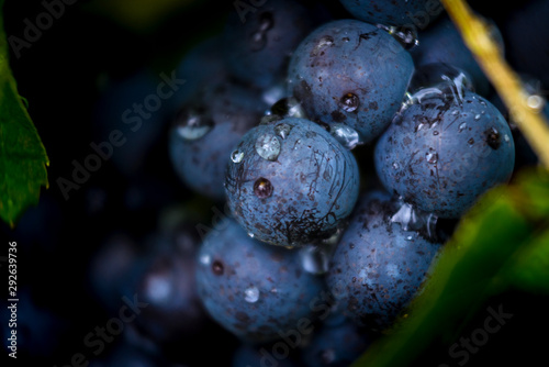 Canvas-taulu Gamay grapes on vines with lush green leaves