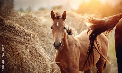 Foto Portrait of a red foal with an asterisk on a forehead on the background of bales of hay