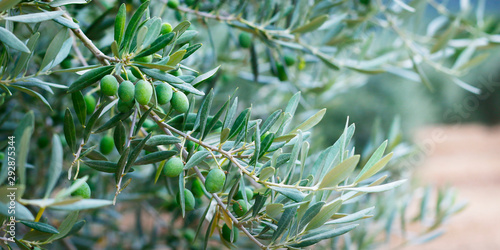 Photo green olives growing in olive tree ,in mediterranean plantation