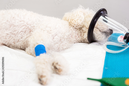 Fotografia, Obraz Preoxygenation in a sedated white poodle with a mask prior to intubation