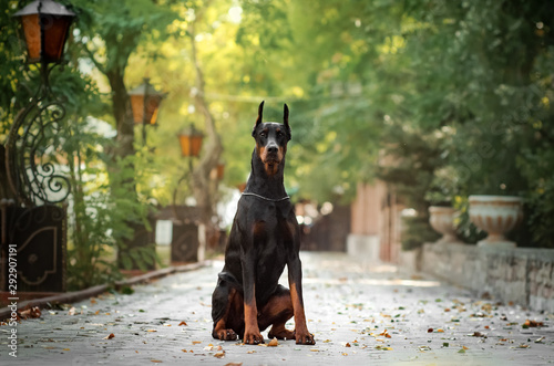 Fotografija Doberman dog beautiful portrait autumn park