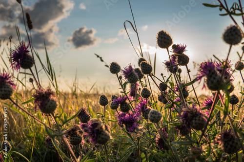 Fototapeta purple plumeless thistle during sunset