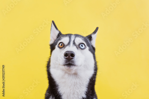 Canvas Print Surprised husky dog on a yellow studio background, the concept of dog emotions